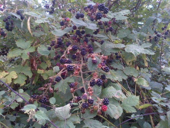 Blackberries 102